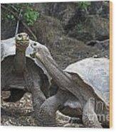 Fighting Galapagos Giant Tortoises Wood Print