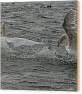 Fighting Swans Wood Print