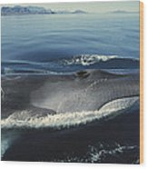 Fin Whale In Sea Of Cortez Wood Print