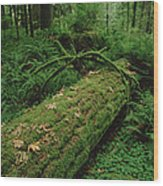 Fir Nurse Log In Rainforest Pacific Wood Print