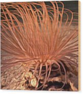 Firework Anemone Wood Print