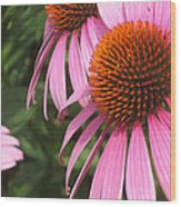 First Cone Flower Wood Print