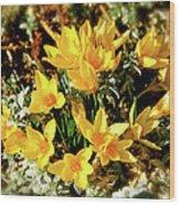 First Crocus Serenade Wood Print