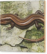 Five-lined Skink Wood Print
