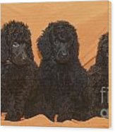 Five Poodle Puppies  Wood Print
