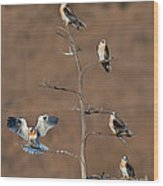 Five White-tailed Kite Siblings Wood Print