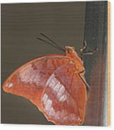Flame-bordered Charaxes Butterfly #3 Wood Print