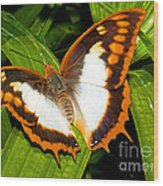 Flame Bordered Charaxes Butterfly Wood Print