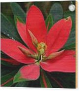 Flame Of Jamaica Wood Print