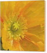 Flaming Yellow Poppy  Wood Print