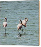 Flamingos Gathering Together Wood Print