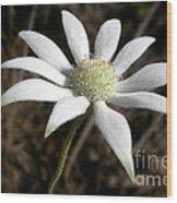 Flannel Flower Wood Print