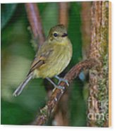 Flavescent Flycatcher Wood Print