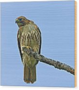 Fledged Red Tailed Hawk Wood Print