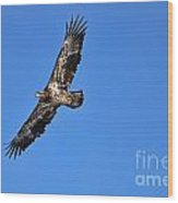 Fledgling Bald Eagle 5048 Wood Print