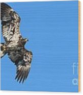 Fledgling Bald Eagle 5078 Wood Print