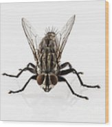 Flesh Fly Isolated Wood Print