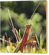Flirty Mantis Wood Print