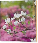 Floating Dogwood Wood Print