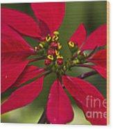 Flor De Nochebuena Wood Print