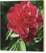 Floribunda Rose 8978 Wood Print