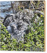 Florida Gator Wood Print