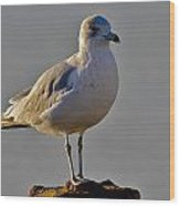 Florida Gull Wood Print