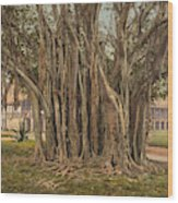 Florida Rubber Tree, C1900 Wood Print