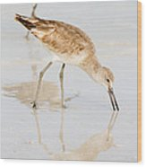 Florida Shorebirds - Willets In Their Summer Finery Wood Print
