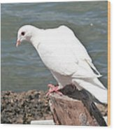 Florida White Pigeon Wood Print