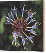 10415 Cornflower Wood Print
