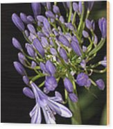 Flower- Agapanthus-blue-buds-one-flower Wood Print