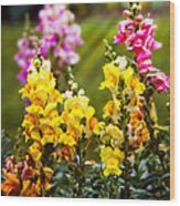 Flower - Antirrhinum - Grace Wood Print by Mike Savad