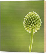 Flower Bud Wood Print