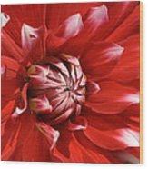 Flower- Dahlia-red-white Wood Print