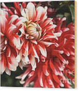 Flower-dahlia-red-white-trio Wood Print