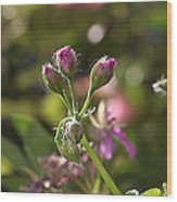 Flower-geranium Buds Wood Print