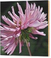Flower-pink Dahlia-bloom Wood Print