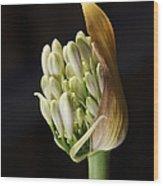 Flower-white-agapanthus-bud Wood Print