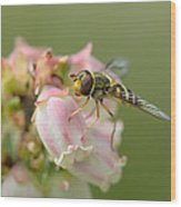 Flowerfly On Blueberry Blossom Wood Print