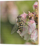 Flowerfly Pollinating Blueberry Buds Wood Print