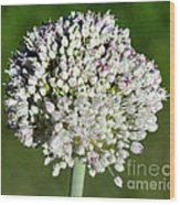 Flowering Leek - Topaz Clarity Demo Wood Print