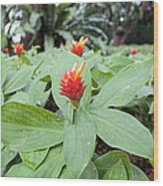 Flowering Red Ginger Plant Wood Print