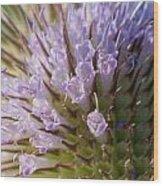 Flowering Teasel Wood Print