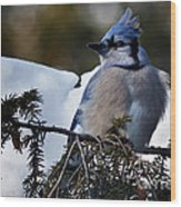 Fluffy Blue Jay Wood Print