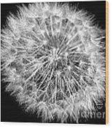 Fluffy Dandelion On Black Wood Print