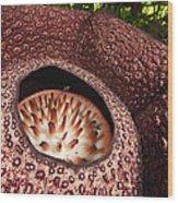 Fly Pollinating Rafflesia Sabah Borneo Wood Print