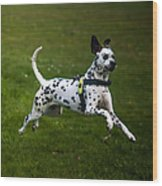 Flying Crazy Dog. Kokkie. Dalmation Dog Wood Print