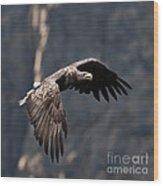 Flying Sea Eagle  Wood Print
