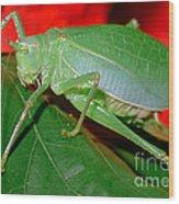 Fork-tailed Bush Katydid Wood Print